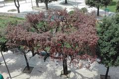 Restano solo alberi morti in viale Giannone