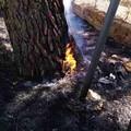 Continuano gli incendi a Canne della Battaglia: ulivi in fiamme
