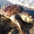 Tartaruga senza vita ad Ariscianne, sulla costa di Barletta