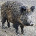 Troppi cinghiali nelle campagne, pericolo anche nella provincia Bat