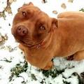 Pitbull di 8 mesi smarrita in via Minervino a Barletta