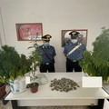 Coltivava marijuana mentre era a casa ai domiciliari