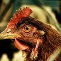 Le galline invadono la provincia Bat