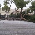 Vento forte a Barletta, cadono tre pini nei pressi del Castello