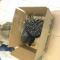Soccorso a Barletta un istrice ferito, salvato dal Nucleo di Vigilanza IFAE