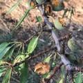 Mandorleti sotto attacco dei pappagalli verdi, produzione in pericolo