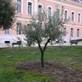 Un albero di olivo per ogni grande piazza di Barletta