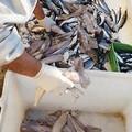 Sequestrati 700 Kg di prodotti ittici dalla Guardia costiera di Barletta