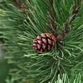 Da lunedì partono a Barletta trattamenti fitosanitari sui pini