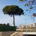 Il pino di via Vittorio Veneto sarà abbattuto il 15 gennaio