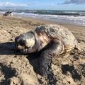 Tartaruga spiaggiata sulla costa di Barletta