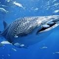 Avvistato uno squalo balena a due miglia da Trani