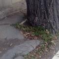 Pericolo in via Vittorio Veneto, attenzione alle radici sporgenti