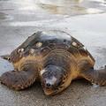 La tartaruga ritrovata sta bene, può ritornare al mare