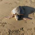 Tartaruga priva di vita nei pressi del Canale H a Barletta