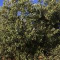 Xylella, Legambiente contraria all'uso di veleni e pesticidi