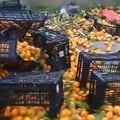 Che scempio, la complanare è invasa da mandarini e rifiuti