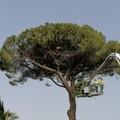 Inizia l'abbattimento del pino su via Vittorio Veneto