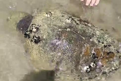 Tartaruga senza vita lungo la costa di Barletta