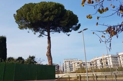 Pino di via Vittorio Veneto