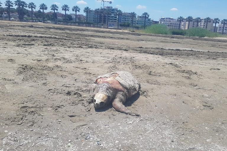Tartaruga spiaggiata a Ponente